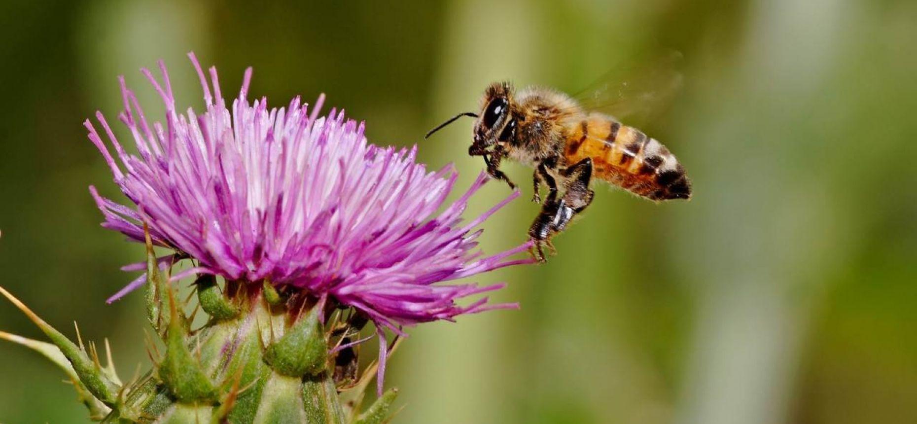 Медоносная пчела