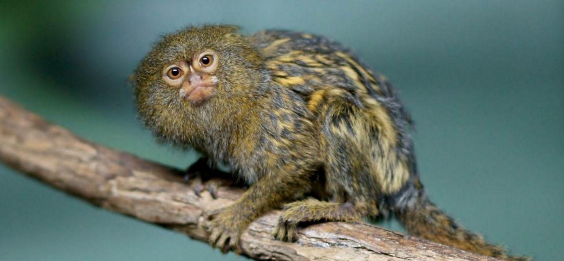 Примат может уместиться на человеческой ладони