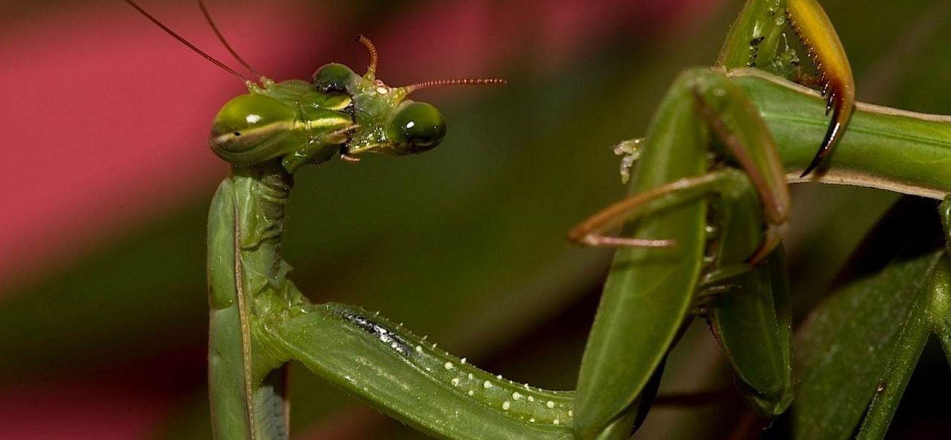 Самка богомола откусывает голову самца