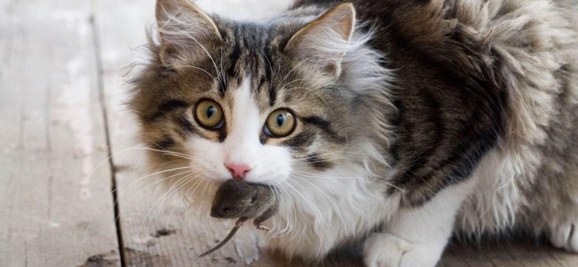 Кошки являются одной из главных угроз дикой природе