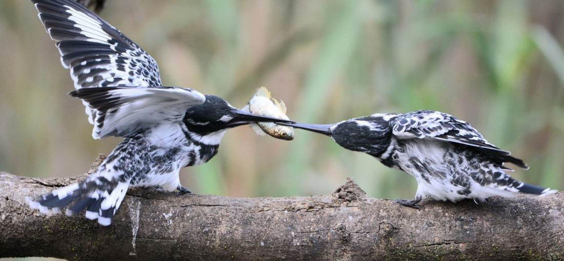 Зимородок — забавная птица-рыболов