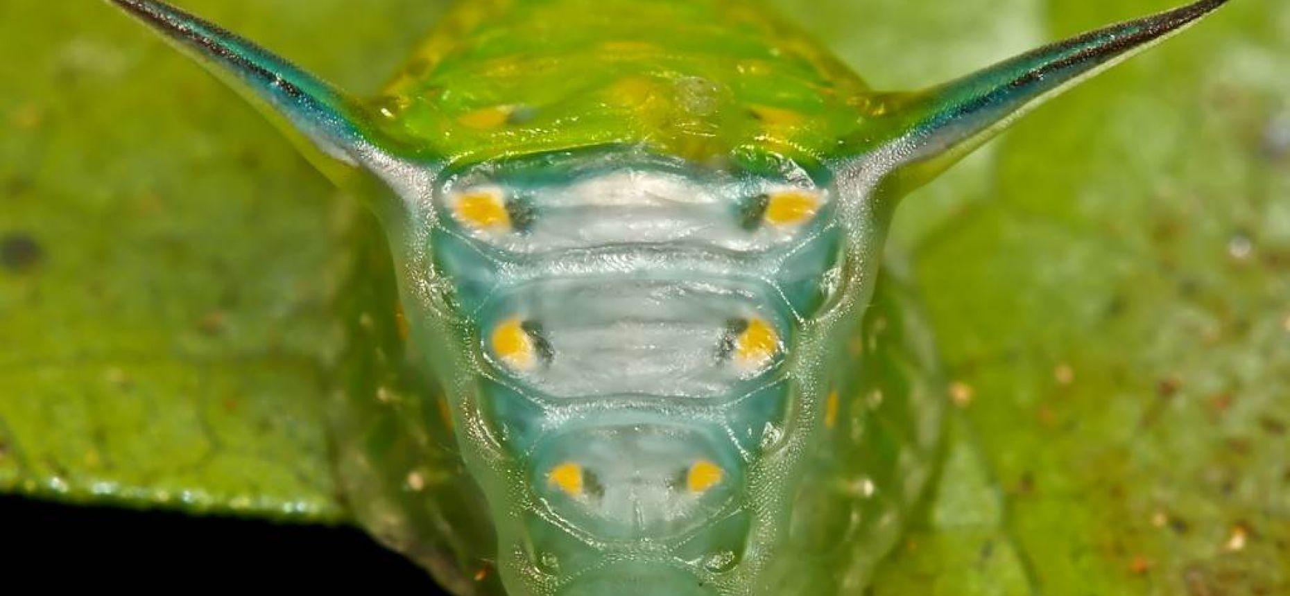 Гусеница с головой быка