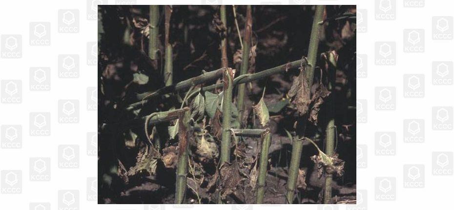 Серая пятнистость стеблей подсолнечника - Diaphorte (Phomopsis) helianthi Munt. — Cvet., Mihal.,Petrov
