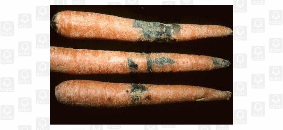 Фомоз моркови - Phoma rostrupii Sacc. Сумчатая стадия - Leptosphaeria libanotis Sacc. (=L. rostrupii Lind)