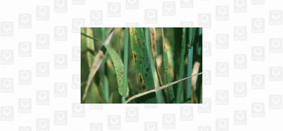 Сетчатая пятнистость ячменя - Pyrenophora teres Drechsler