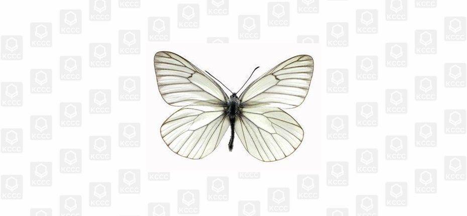 Боярышница - Aporia crataegi L.