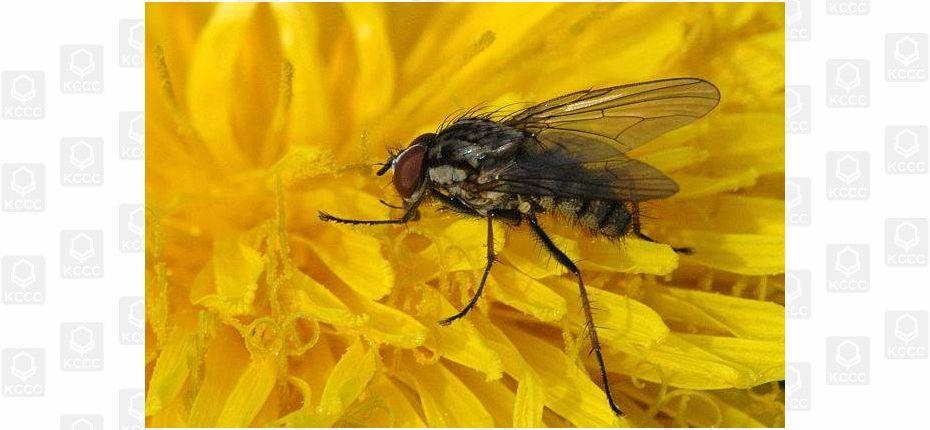 Капустная весенняя муха - Delia brassicae Bouche