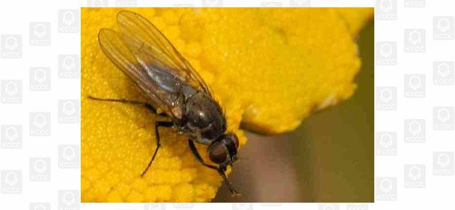 Капустная летняя муха - Delia floralis (Fallen)