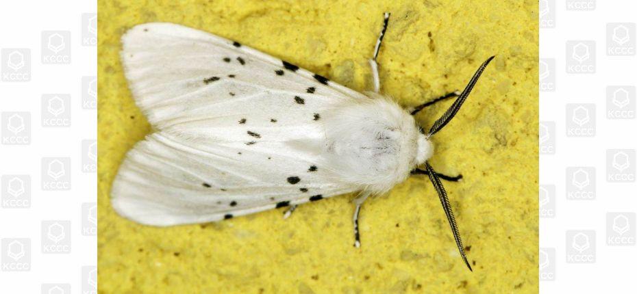 Американская белая бабочка - Hyphantria cunea Drury