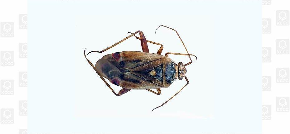 Свекловичный клоп - Poeciloscytus cognatus Fieb.