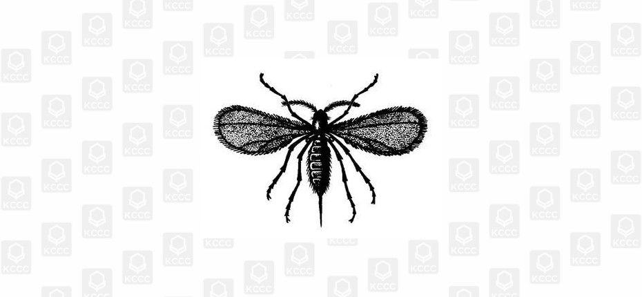 Просяной комарик - Stenodiplosis panici Plotnikov