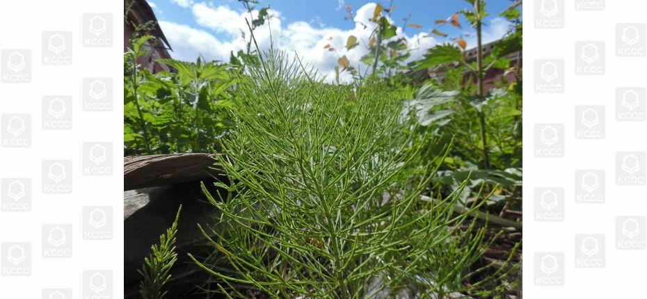 Equisetum arvense L. - Хвощ полевой.