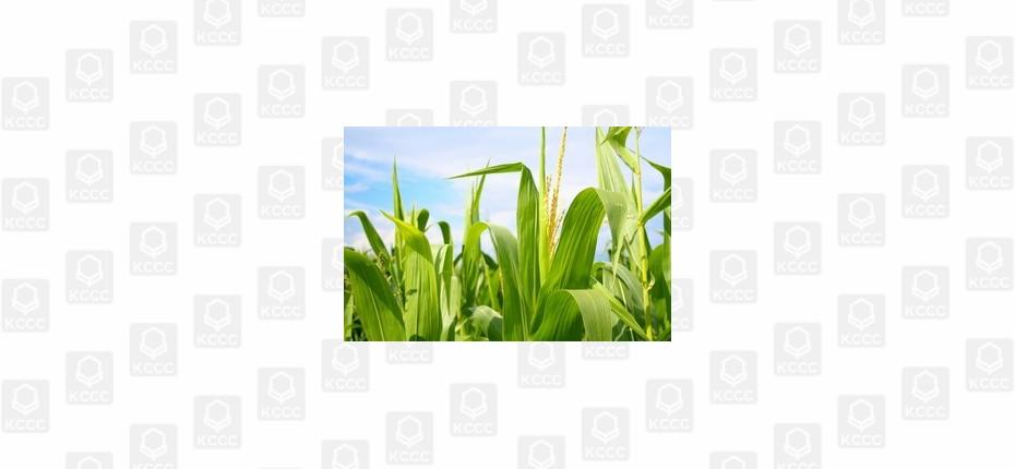 Беспомощная кукуруза