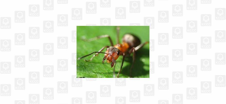 О муравьях