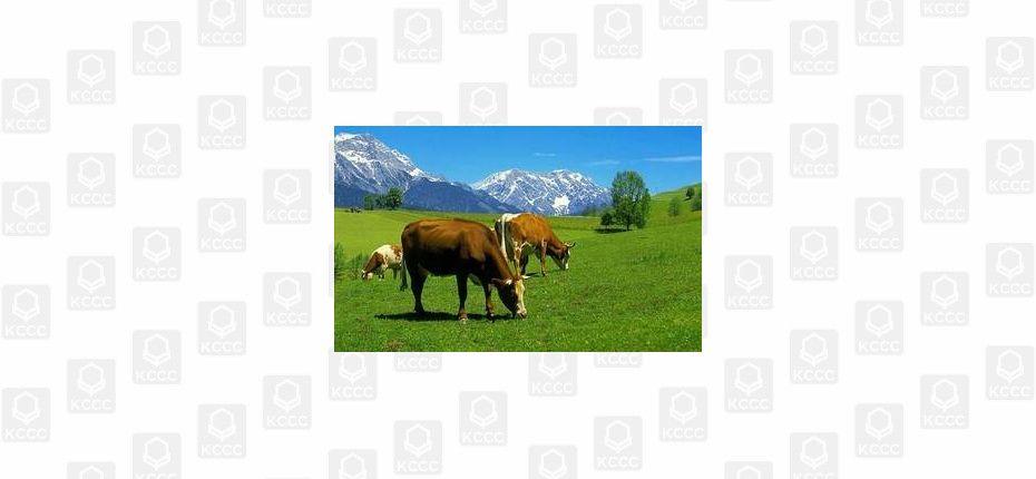 Намагниченные коровы