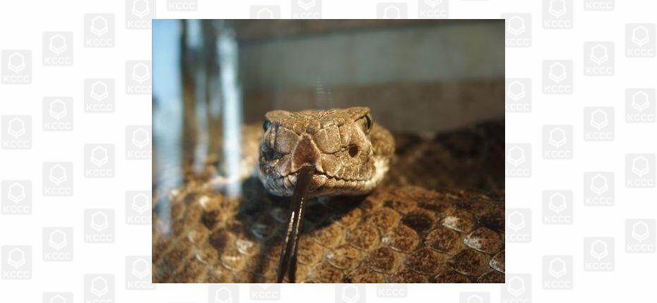 Почему взгляд змей немигающий, гипнотизирующий?