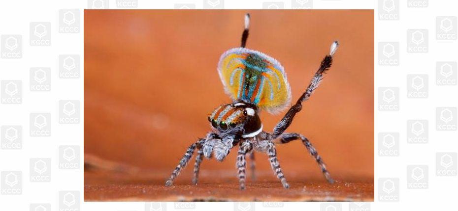 Уникальный паук-павлин