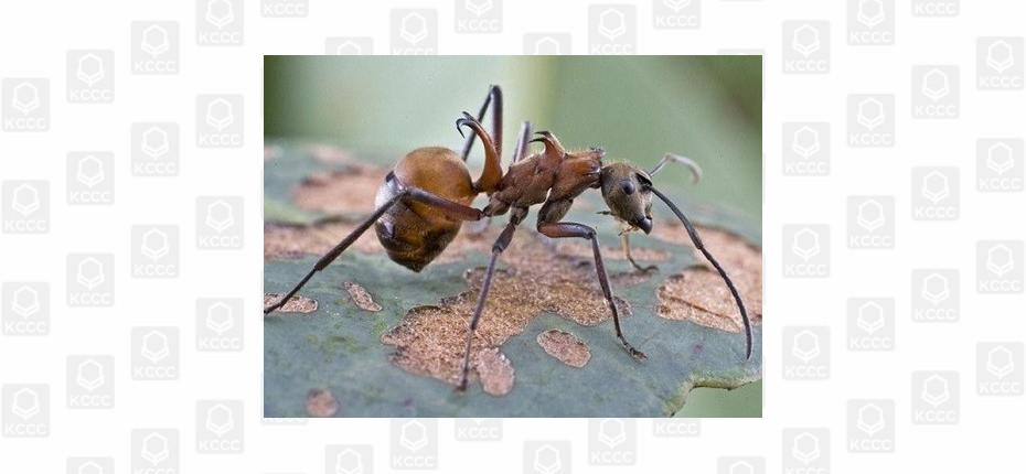 Крючковатые муравьи