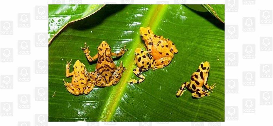 Панамская золотая лягушка