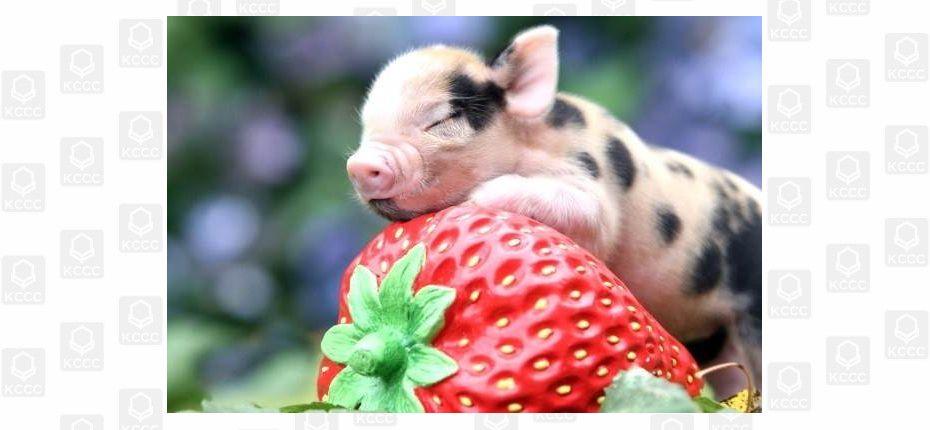 О свинках