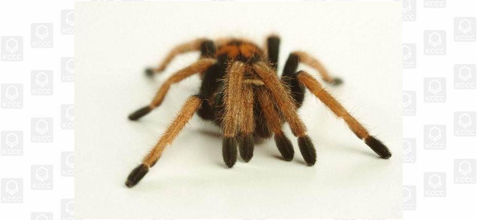 Откуда у пауков колени
