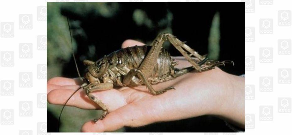 Самое большое насекомое