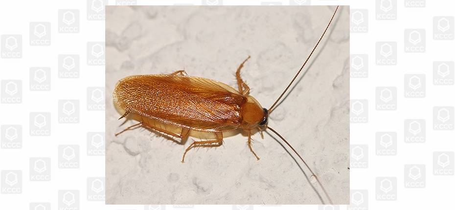 Сколько могут жить без головы тараканы