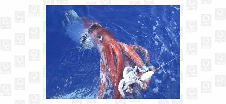 Колоссальный кальмар