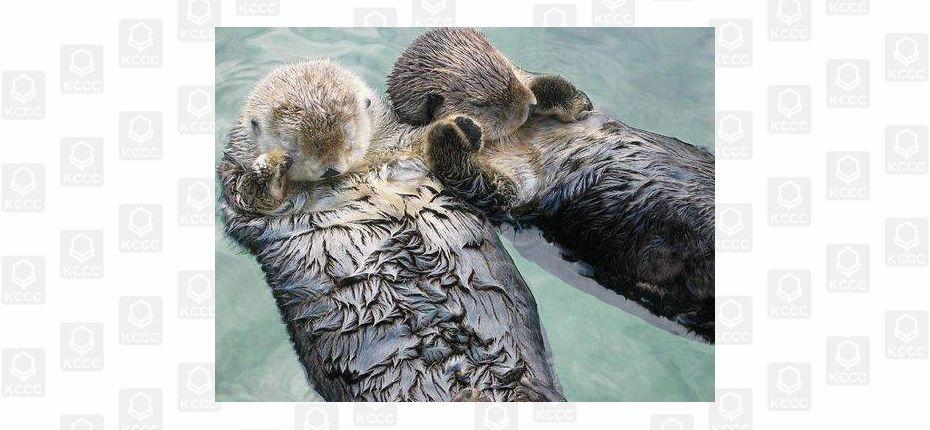 Морские животные, засыпая, держатся лапками друг за друга