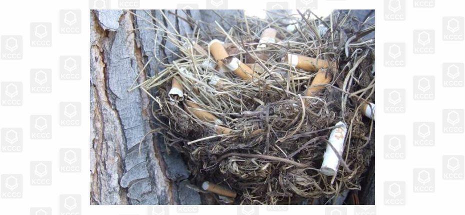 Окурки в гнездах городских птиц