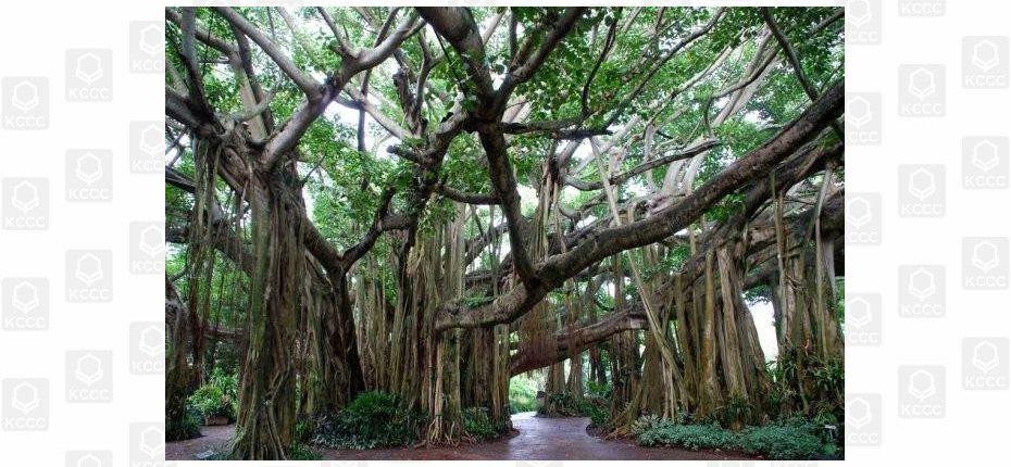 Дерево может разрастись на площадь нескольких гектаров