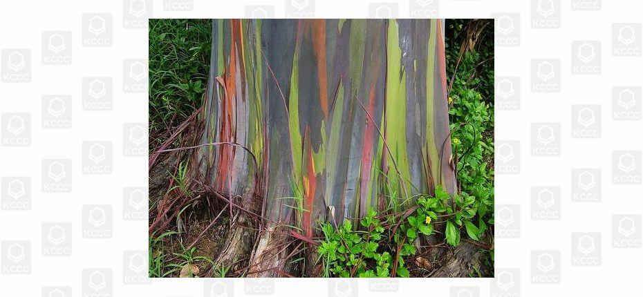 У дерева кора может быть окрашена во все оттенки радуги
