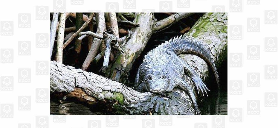 Крокодилы могут лазать по деревьям