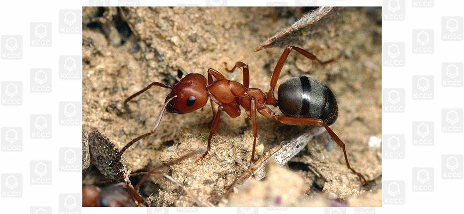 Продолжительность жизни муравьев