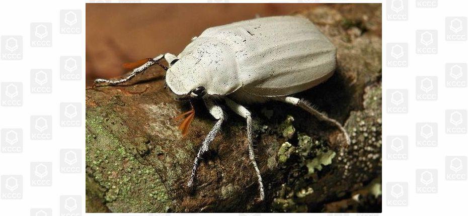 Белый скарабей
