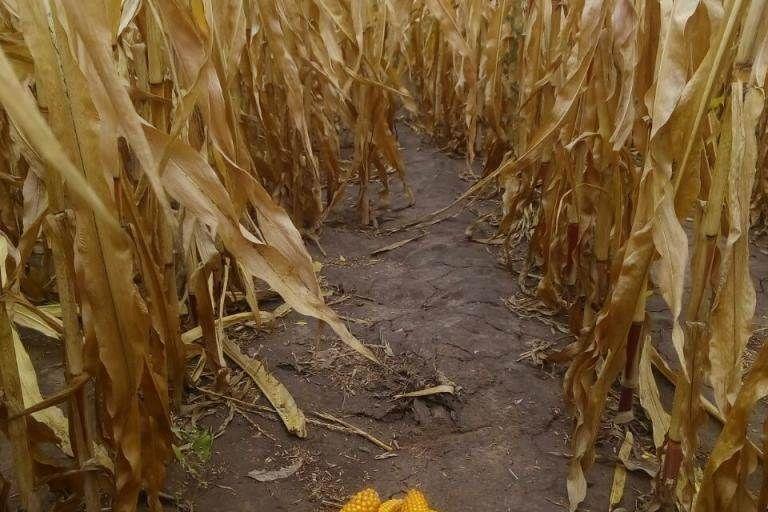 Состояние культуры Кукуруза после обработки препаратами ООО ТД Кирово-Чепецкая Химическая Компания