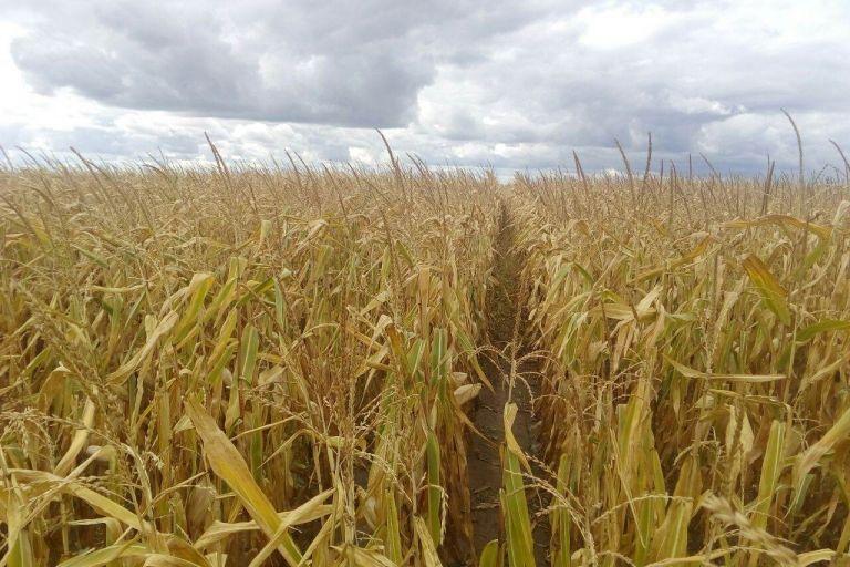 Состояние поля Кукуруза после обработки препаратами ООО ТД Кирово-Чепецкая Химическая Компания