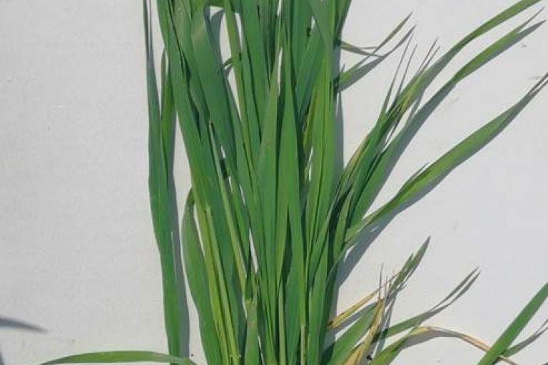 Состояние культуры Пшеница яровая после обработки препаратами ООО ТД Кирово-Чепецкая Химическая Компания
