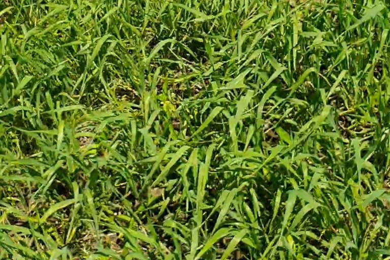 Состояние культуры Пшеница яровая до обработки препаратами ООО ТД Кирово-Чепецкая Химическая Компания