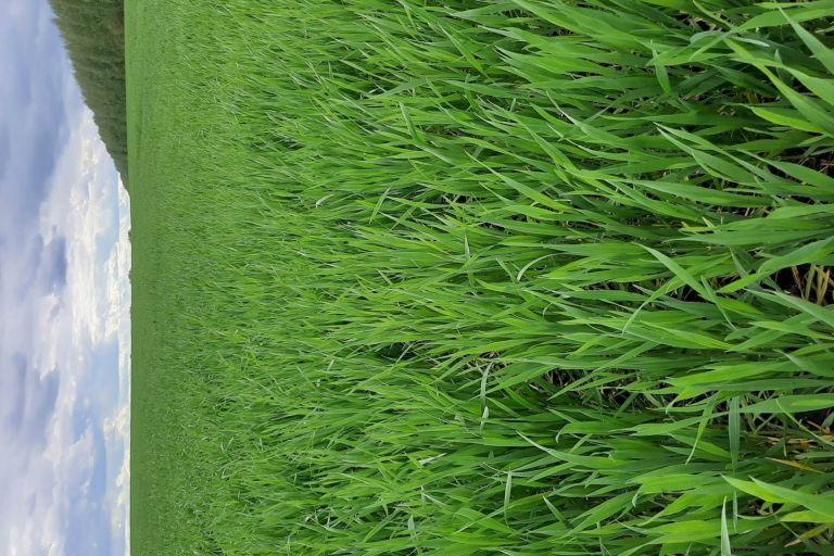 Состояние культуры Пшеница озимая после обработки препаратами ООО ТД Кирово-Чепецкая Химическая Компания
