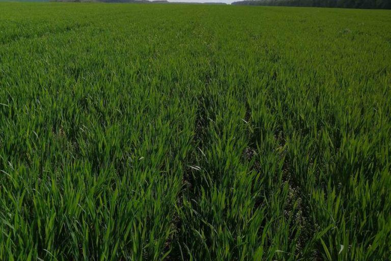 Состояние поля Пшеница озимая после обработки препаратами ООО ТД Кирово-Чепецкая Химическая Компания