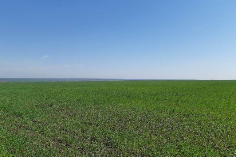 Состояние поля Пшеница озимая до обработки препаратами ООО ТД Кирово-Чепецкая Химическая Компания