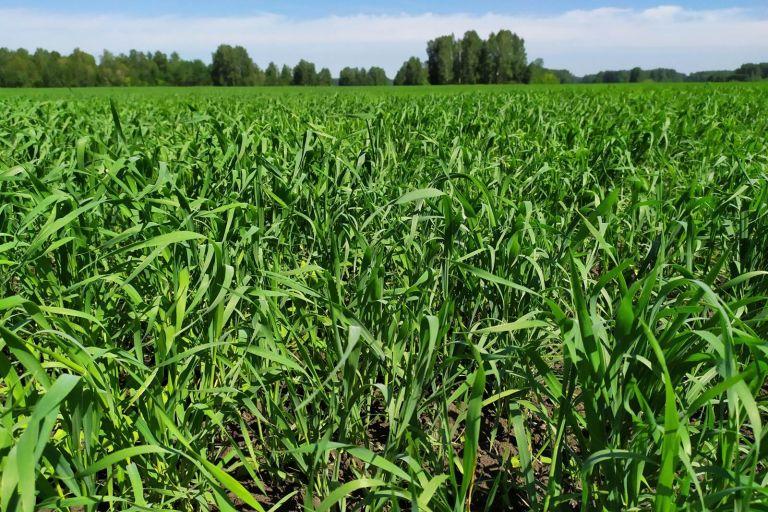 Состояние поля Пшеница яровая после обработки препаратами ООО ТД Кирово-Чепецкая Химическая Компания