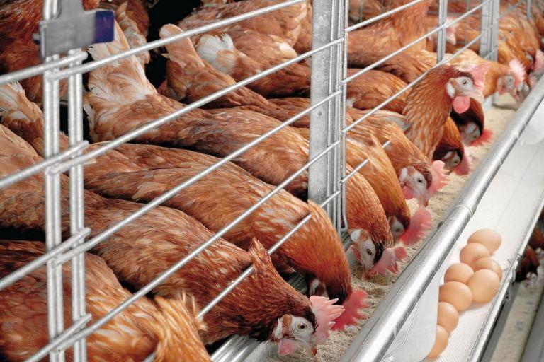 В ООО «Челны-Бройлер» будет запущен новый комплекс по переработке куриного мяса мощностью 144 тонны в сутки