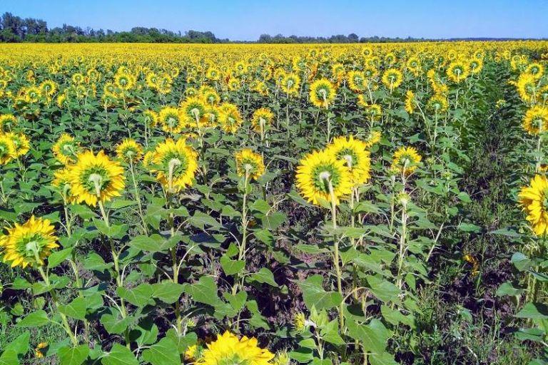 В Тамбовской области собран рекордный урожай подсолнечника