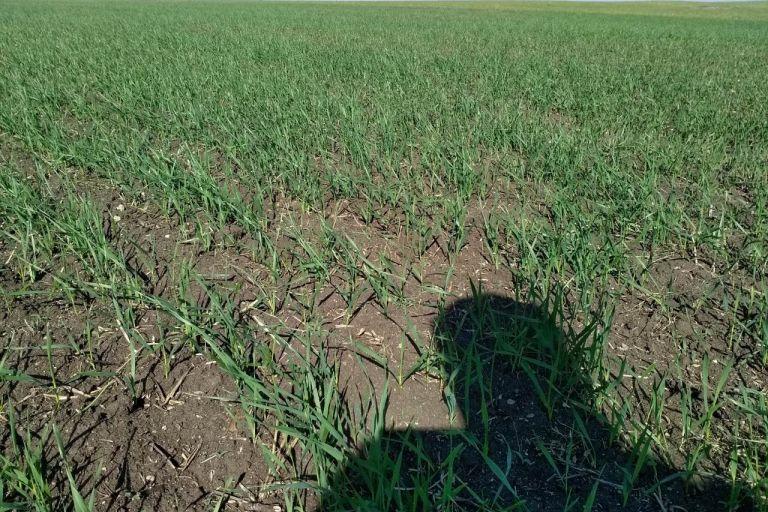 Промежуточные результаты комплексной защиты посевов яровой пшеницы в Челябинской области