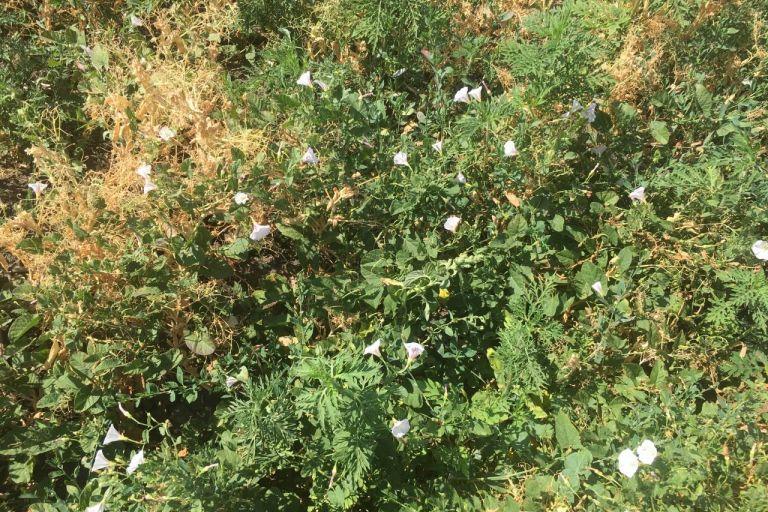 Вьюнок полевой - 10 тысяч семян на один стебель. Запас на 50 лет вперед.