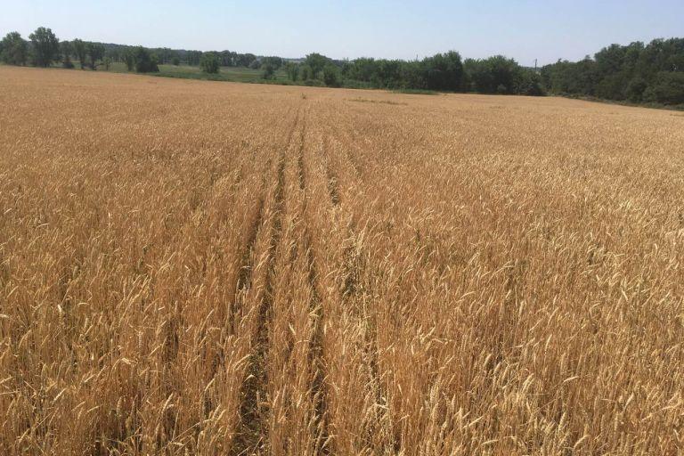Варианты решения с сорной растительностью во время уборки зерновых колосовых