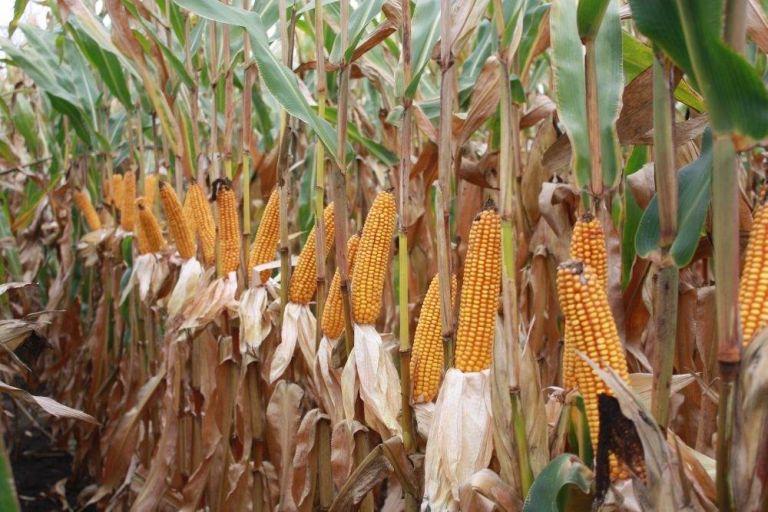 В Тамбовской области начали убирать кукурузу.