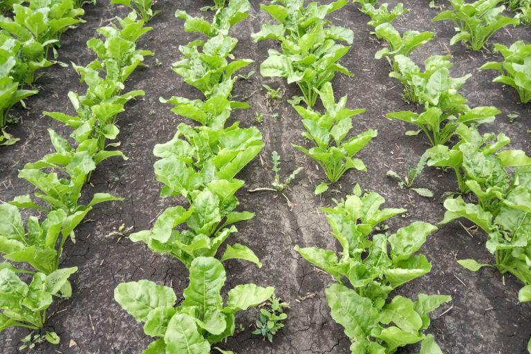 Защита посевов сахарной свёклы